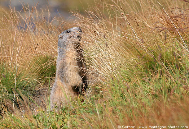marmotte_herbes_seches.jpg